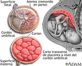 Anatomía de la placenta humana